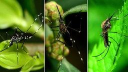 Collage dreier verschiedener Stechmücken nebeneinander.