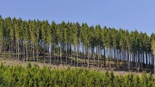 Fichtenwald mit hunderten Bäumen