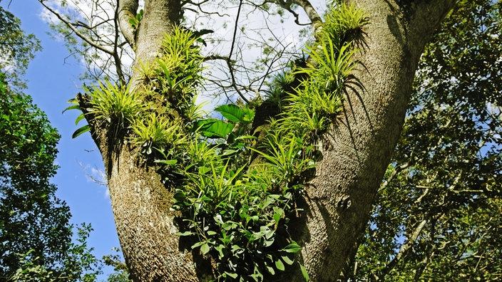 Teakbaum im tropischen regenwald  Teakbaum Im Tropischen Regenwald: Wanderweg im regenwald mit w ...