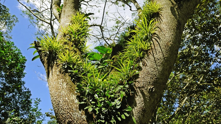 regenwald aufsitzerpflanzen regenwald landschaften natur planet wissen. Black Bedroom Furniture Sets. Home Design Ideas