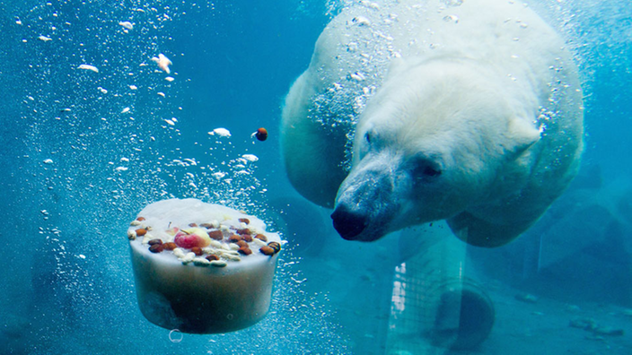 Toma subacuática de un oso polar nadando hacia un trozo de hielo que contiene su comida.