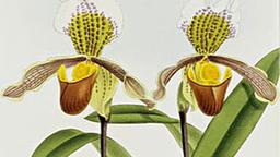 orchideen pflanzen natur planet wissen. Black Bedroom Furniture Sets. Home Design Ideas