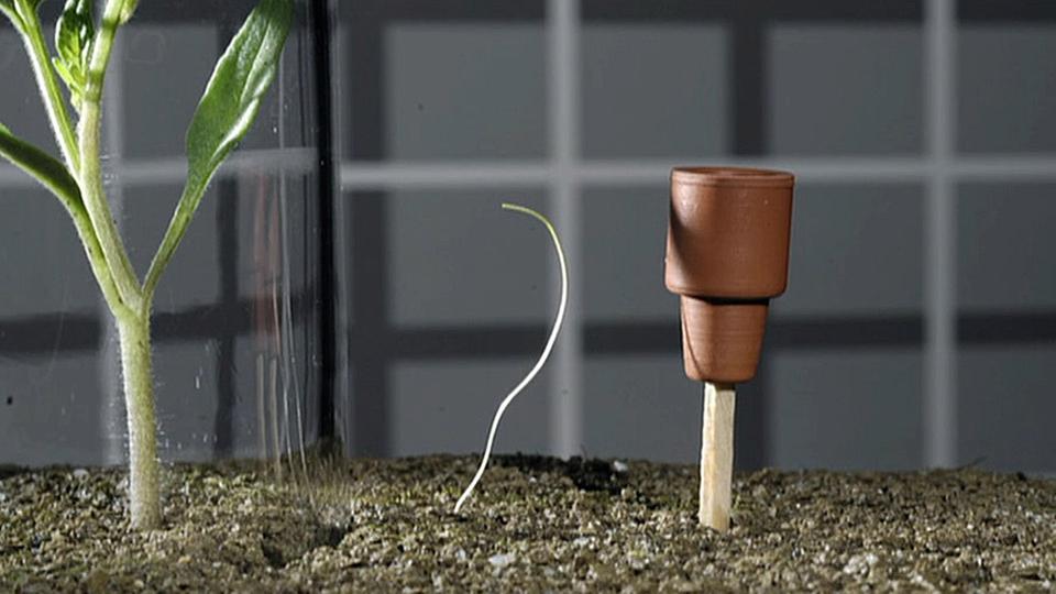 kann der teufelszwirn tomaten riechen planet wissen. Black Bedroom Furniture Sets. Home Design Ideas