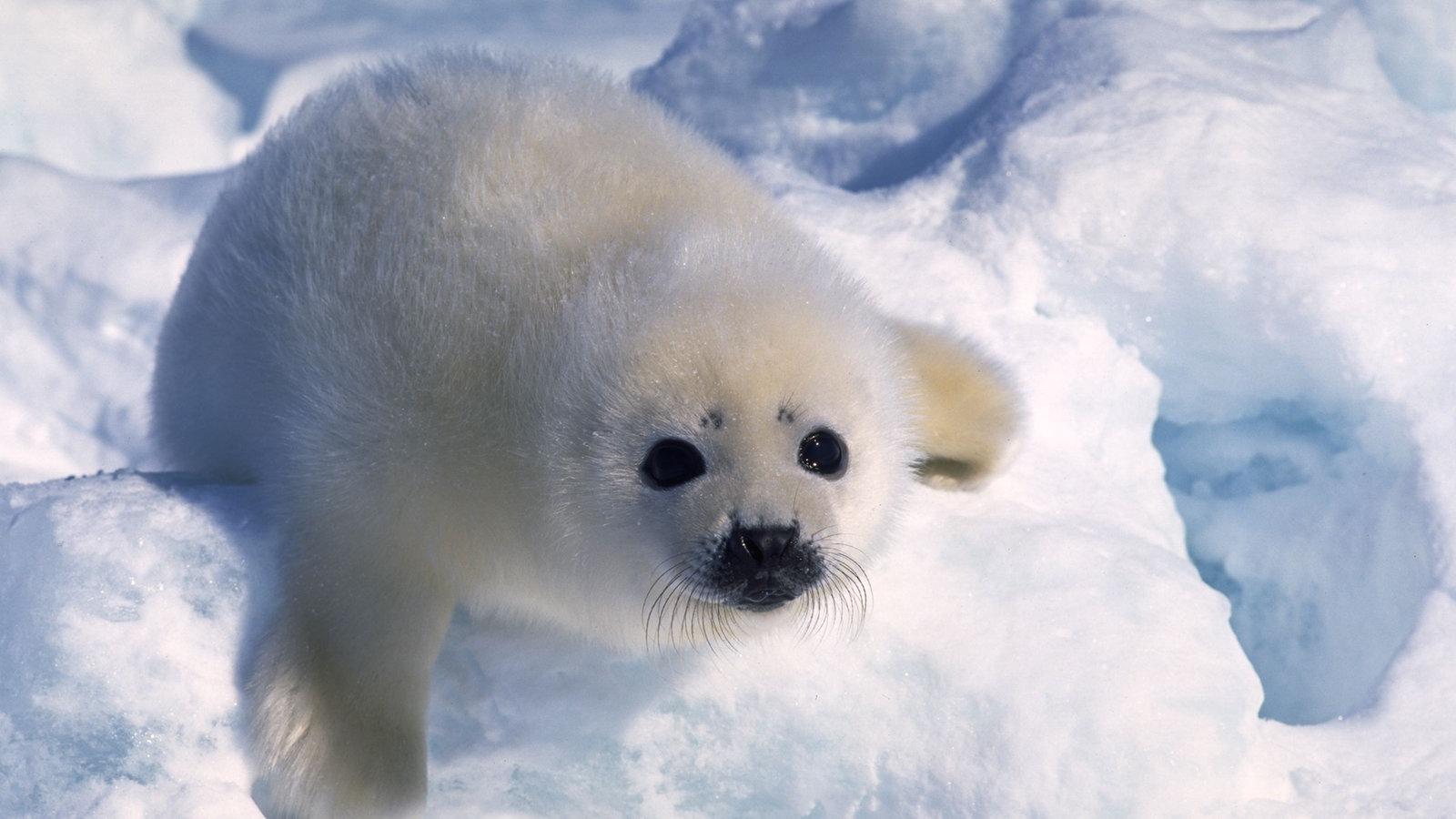 Polarregionen: Arktische Tierwelt - Polarregionen - Natur - Planet ...