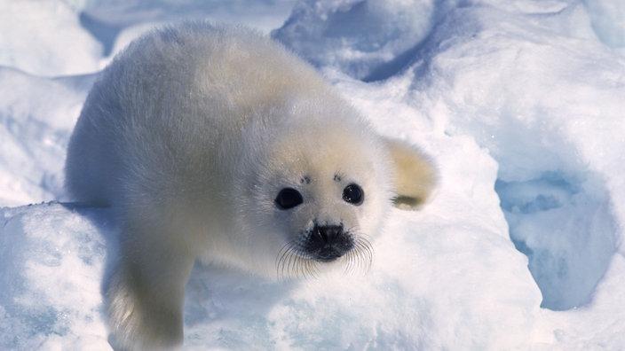 Ganz und zu Extrem Polarregionen: Arktische Tierwelt - Polarregionen - Natur - Planet #QE_58