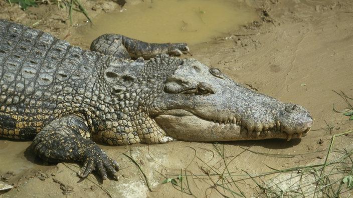 krokodile artenschutz reptilien und schmuck natur planet wissen. Black Bedroom Furniture Sets. Home Design Ideas