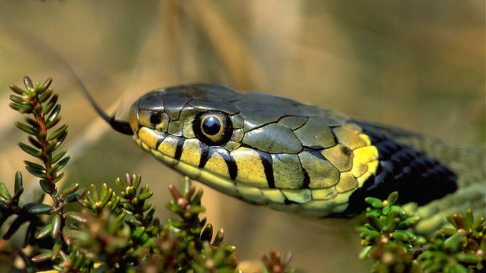 schlangen heimische schlangenarten reptilien und. Black Bedroom Furniture Sets. Home Design Ideas