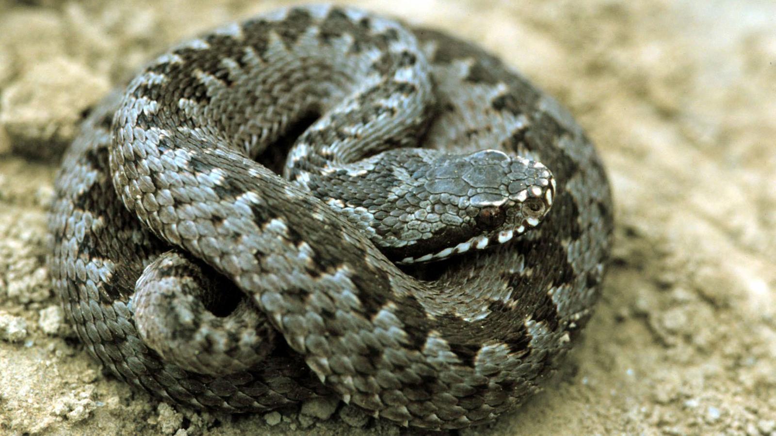 schlangen heimische schlangenarten reptilien und schmuck natur planet wissen. Black Bedroom Furniture Sets. Home Design Ideas