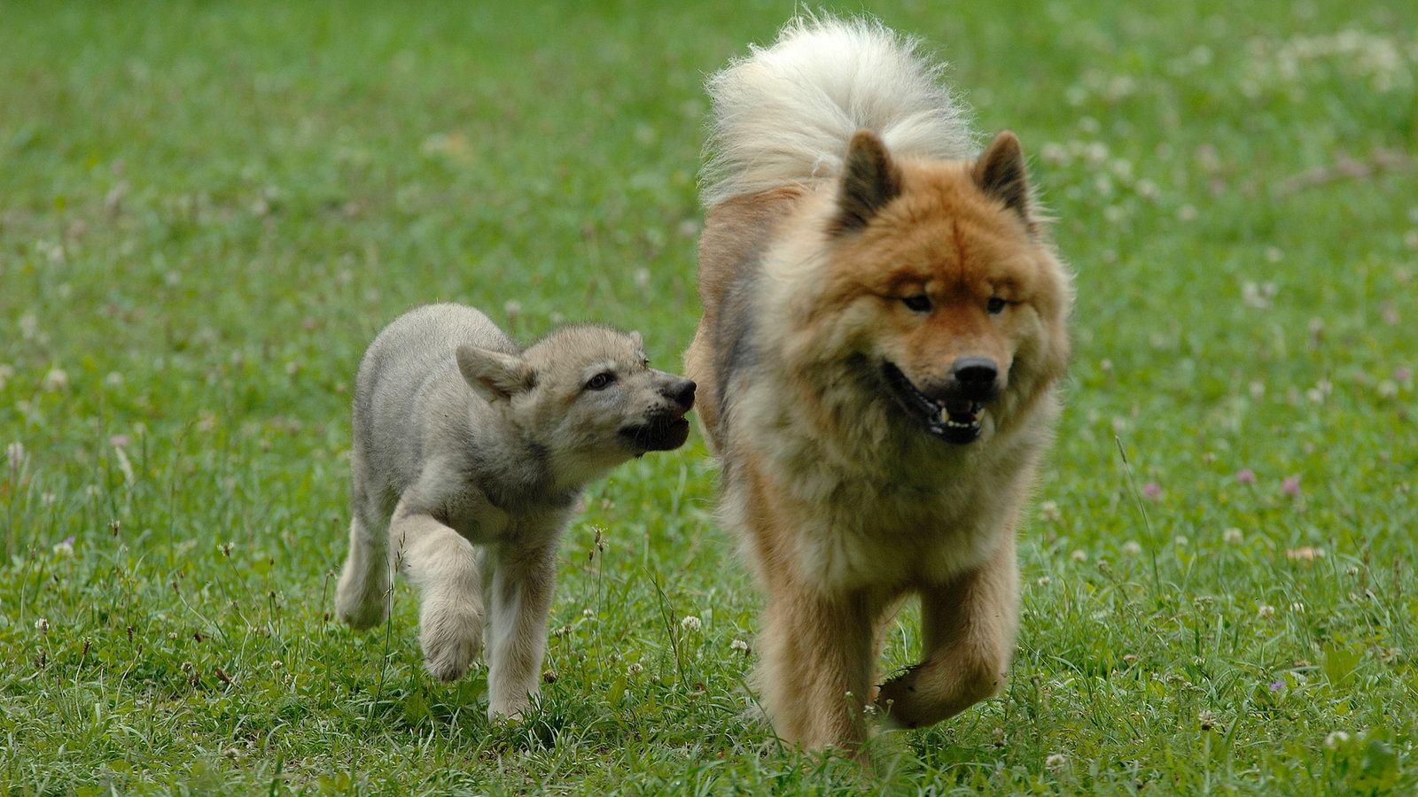 Wolf Und Hund
