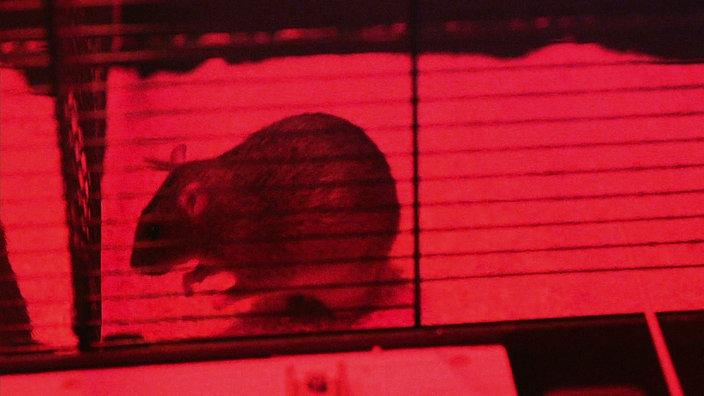 Ratten Was Sie über Ratten Wissen Sollten Ratten Haustiere