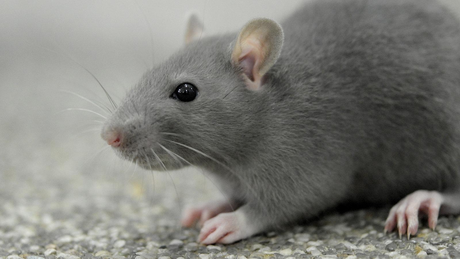 Am Bahnhof Leverkusen Mitte werden die Hochbete wegen einer Rattenplage gerodet