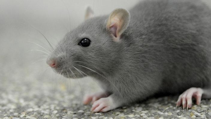 querschnittsgel hmte ratten bilden neue nervenzellen mensch wissen wdr. Black Bedroom Furniture Sets. Home Design Ideas