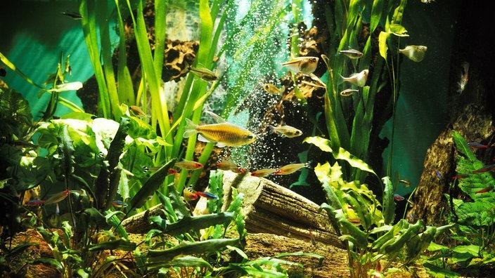 aquarien aquarium f r anf nger tiere im wasser natur planet wissen. Black Bedroom Furniture Sets. Home Design Ideas