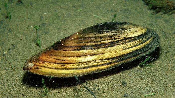 Tiere im wasser muscheln tiere im wasser natur for Muscheln im gartenteich