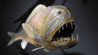 Kopffüßer Der Tiefsee