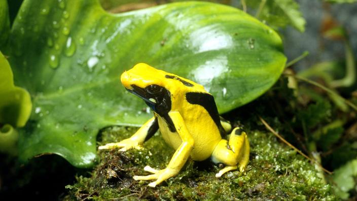 Gift Als Waffe Pfeilgiftfrösche Tierwelt Natur Planet Wissen