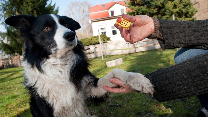 Ein Border Collie beim Clicker-Training