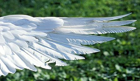 El ala extendida de un ganso.