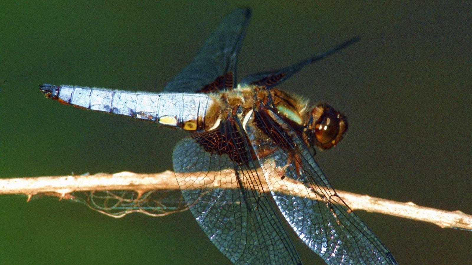 tierische flieger flug bei insekten  tierwelt  natur