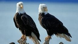 Adler Mit Weißem Kopf