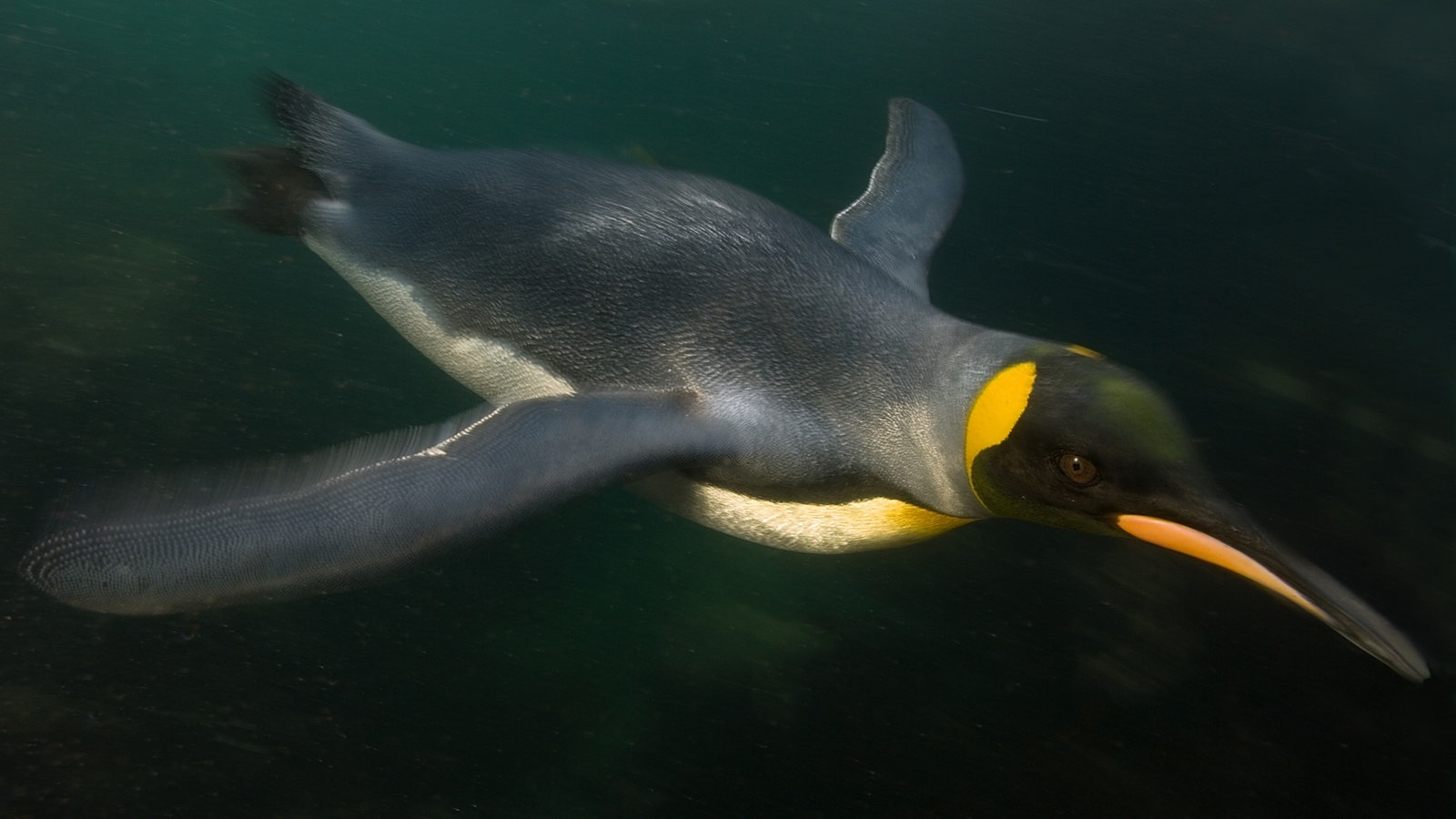 pinguine meister der anpassung voegel natur planet wissen. Black Bedroom Furniture Sets. Home Design Ideas