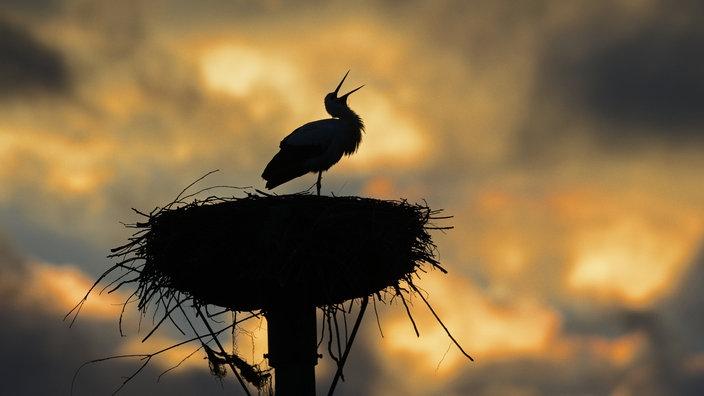 Storch in seinem Horst vor Sonnenuntergang