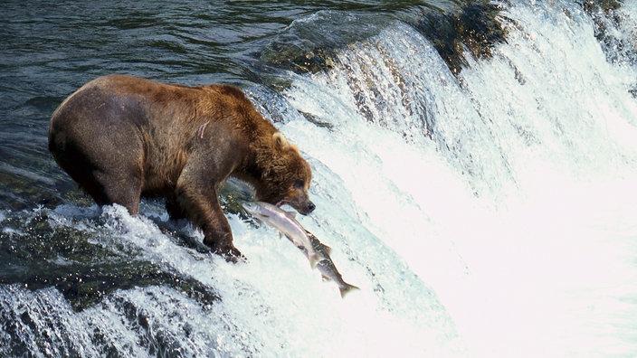Wildtiere: Bären - Wildtiere - Natur - Planet Wissen