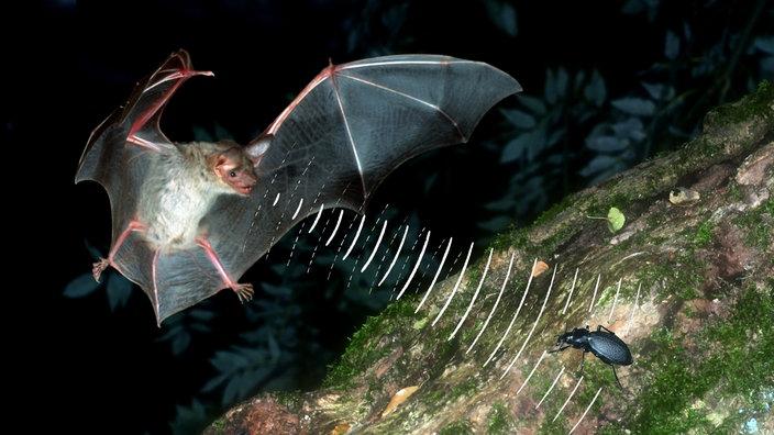 Entfernungsmessung Mit Schall : Fledermäuse: sehen mit den ohren fledermäuse wildtiere natur