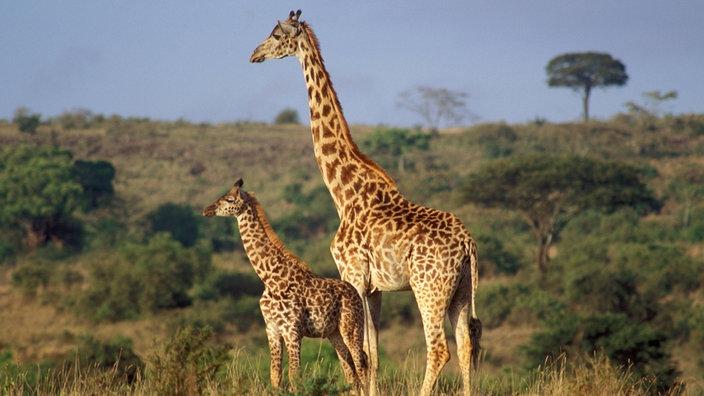 wildtiere giraffen  wildtiere  natur  planet wissen