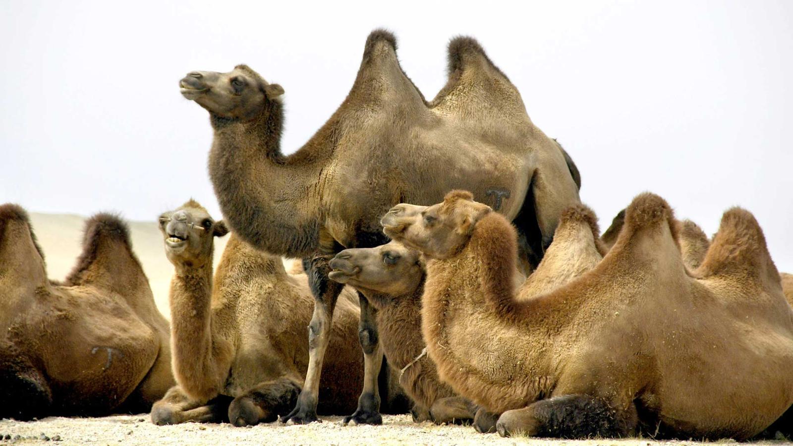Kamel Ein Höcker