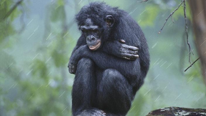 Ein Bonobo kauert im Regen und hält sich warm.