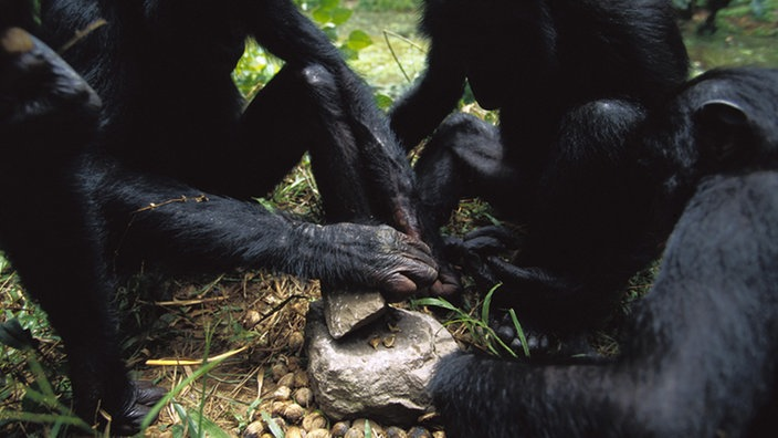 Eine Gruppe Bonobos knackt Nüsse mit einem Stein