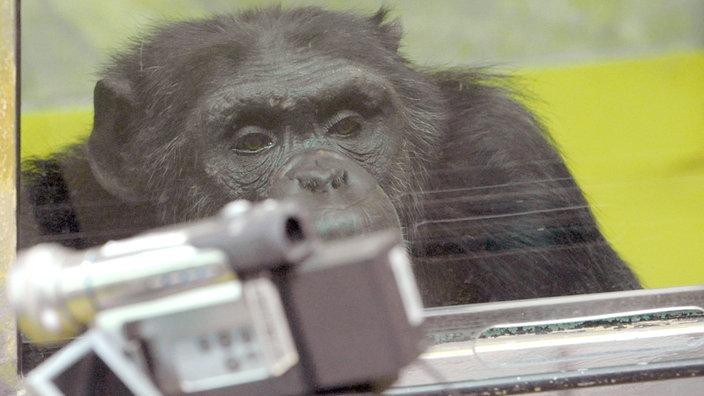 Schimpanse Robert (hinter einer Glasscheibe) wird von einer Kamera beobachtet.