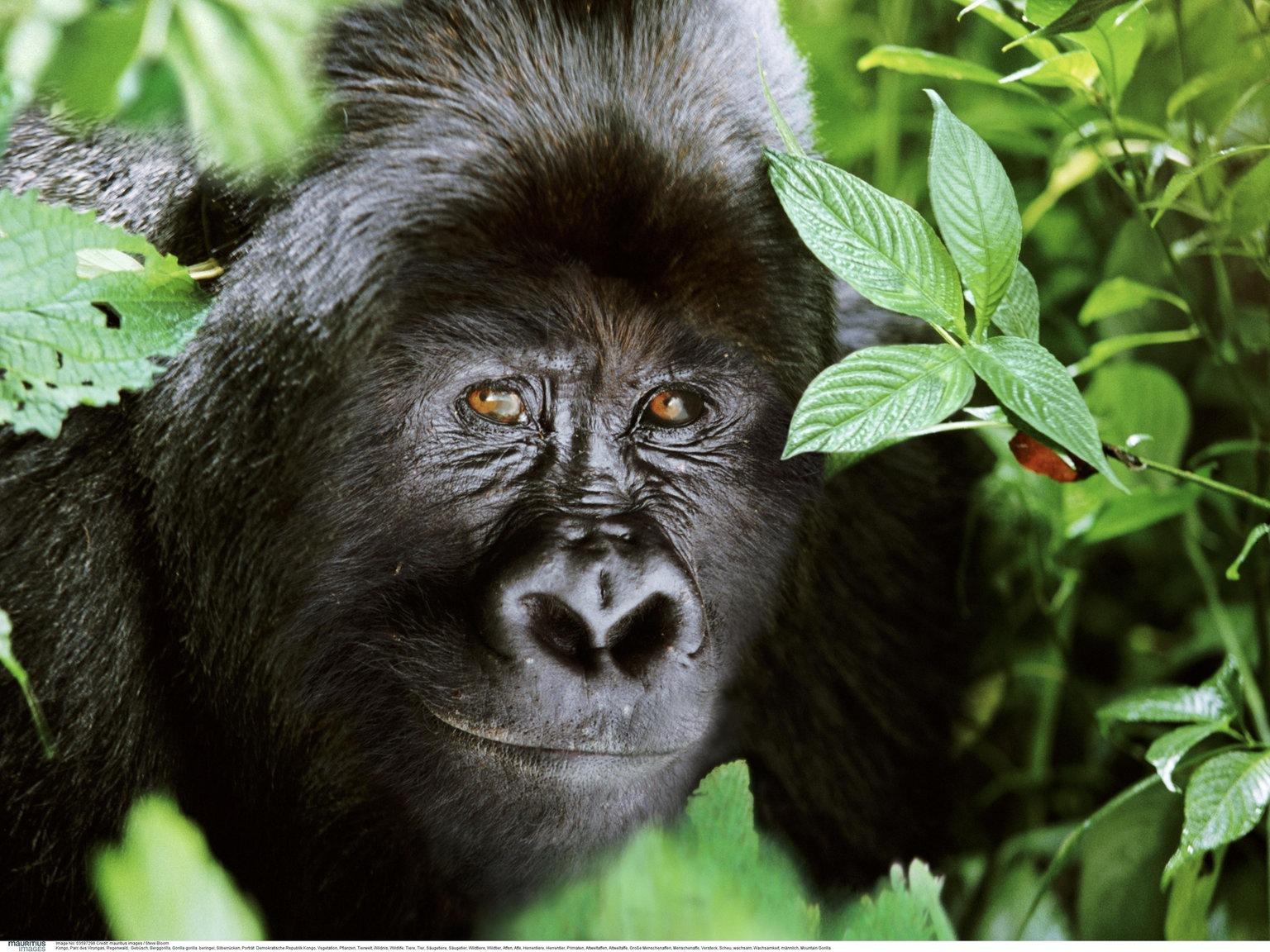 Bildergebnis für Affen Guralen Fakten