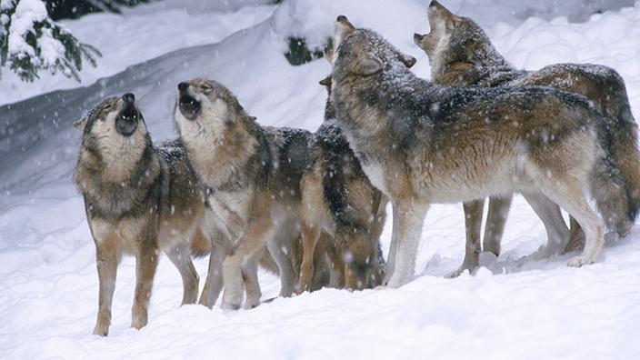 Ein Wolfsrudel im Winter im Bayerischen Wald