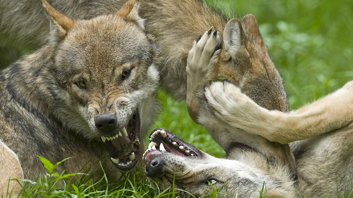 Zwei kämpfende Grauwölfe