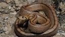 Eine bräunliche Schlange zusammengewickelt