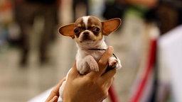 Ein Chihuahua wird hochgehalten.