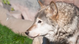 Ein Wolf schaut nach links.