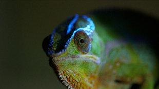 Fluoreszierendes Farbmuster beim Chamäleon