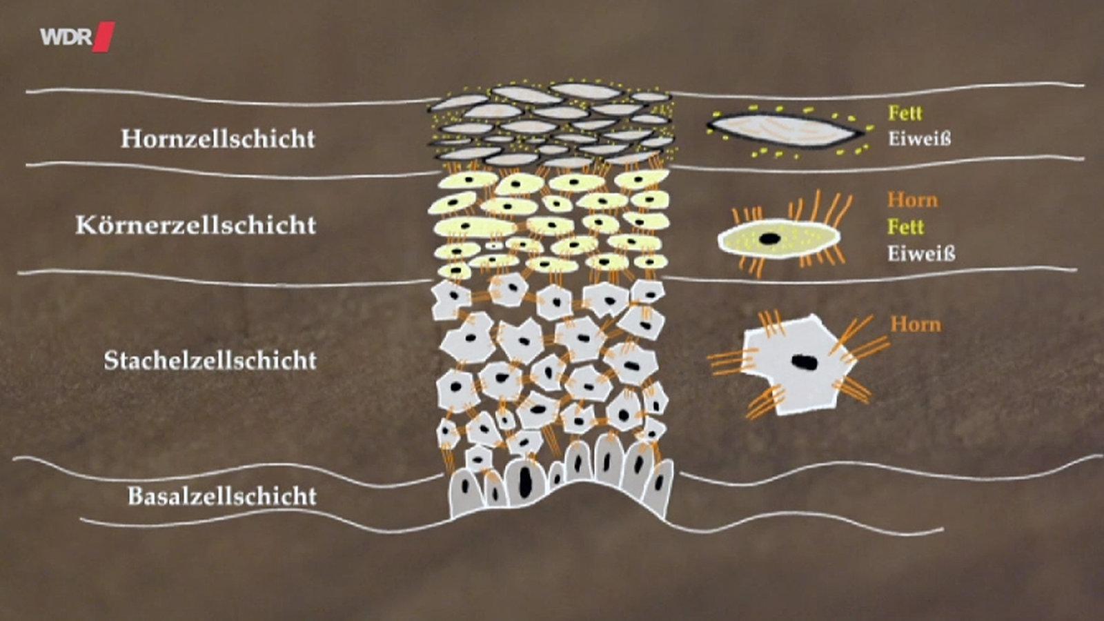 Anatomie des Menschen: Haut - Haut des Menschen - Natur - Planet Wissen
