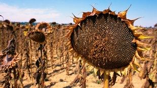 Verdorrte Sonnenblumen auf einem Feld
