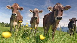 Vier junge Rinder auf einer Wiese.