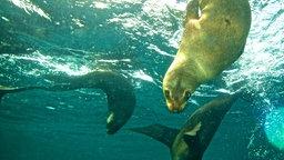 Drei Robben tauchen unter Wasser.