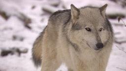 Ein Wolf in hellem Fell in verschneiter Natur.