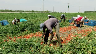 Arbeiter bei der Tomatenernte