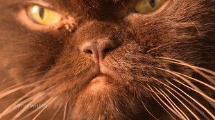 Das 'Gesicht' einer dunkelgefärbten Perserkatze.