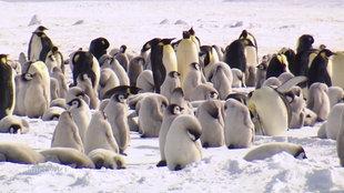 Kaiserpinguine mit Jungtieren stehen im Sonnenschein auf einer Eisfläche in der Antarktis.