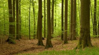 Ein Buchenwald