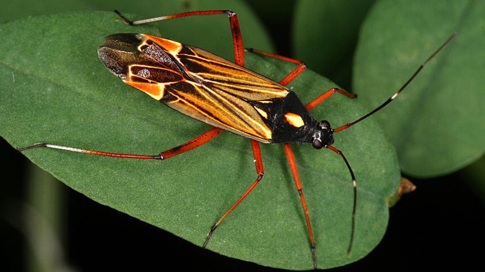 wanzen bildergalerie wanzen insekten und spinnentiere natur planet wissen. Black Bedroom Furniture Sets. Home Design Ideas